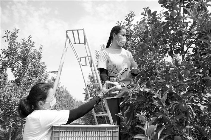 千亩苹果基地的苹果成熟了